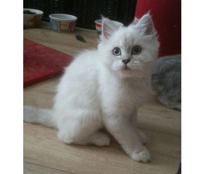 ..................''''''Silverpoint Persian kittens Ready Now