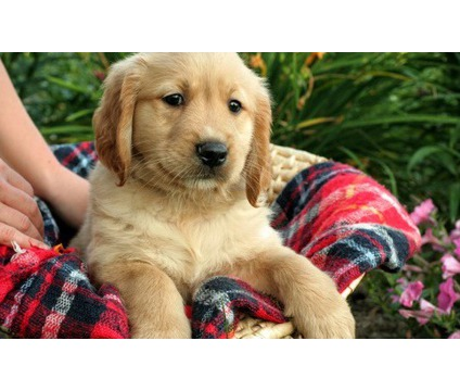 jhjnhbg Male and Female Golden Retriever puppies