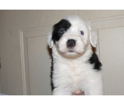 OUJDHC A stunning litter of Old English Sheepdog puppies for sale