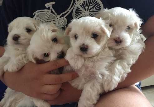 hhjgf very gentle maltese puppies for sale