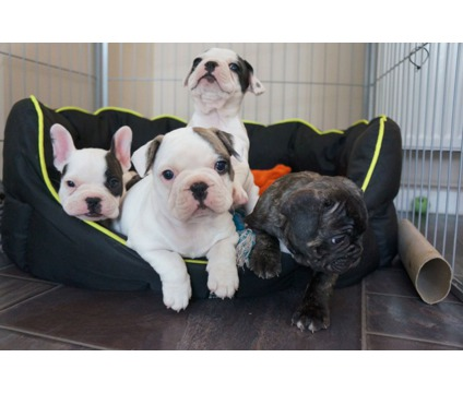 Potty trained and Akc Frenchie Pups