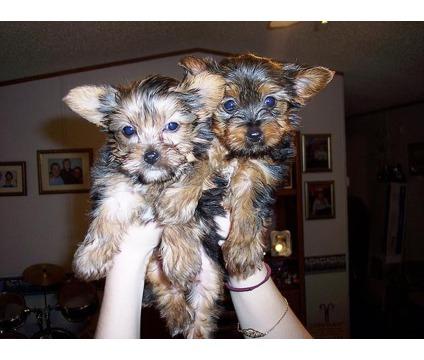 dggrgrgar Yorkshire terrier Puppies/m/f