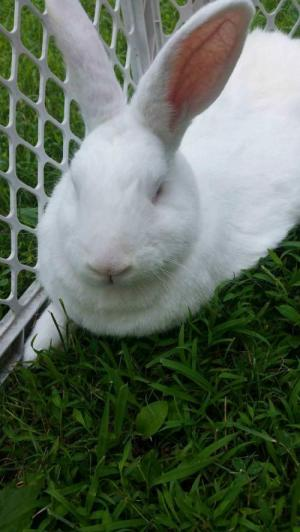 Adopt Dion a Flemish Giant