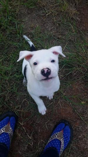 Adopt Wyatt a Pit Bull Terrier, American Staffordshire Terrier