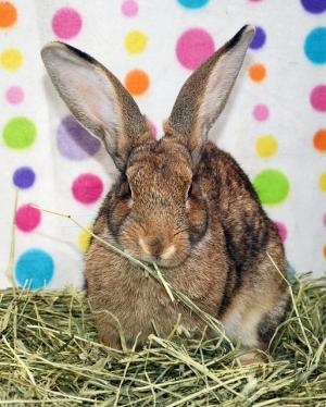 Adopt Bill a Flemish Giant