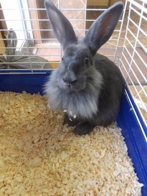 Adopt Flemish Rabbit a Flemish Giant, Lionhead