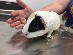 Adopt OLIVE a Guinea Pig