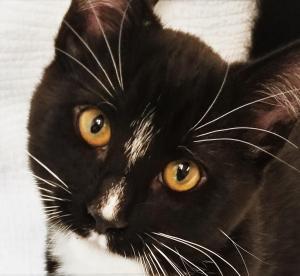 Adopt Boyd a Domestic Short Hair-black and white