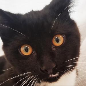 Adopt Bret a Domestic Short Hair-black and white