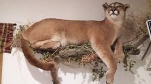 Real Taxidermy Mountain Lion (Napoleon)