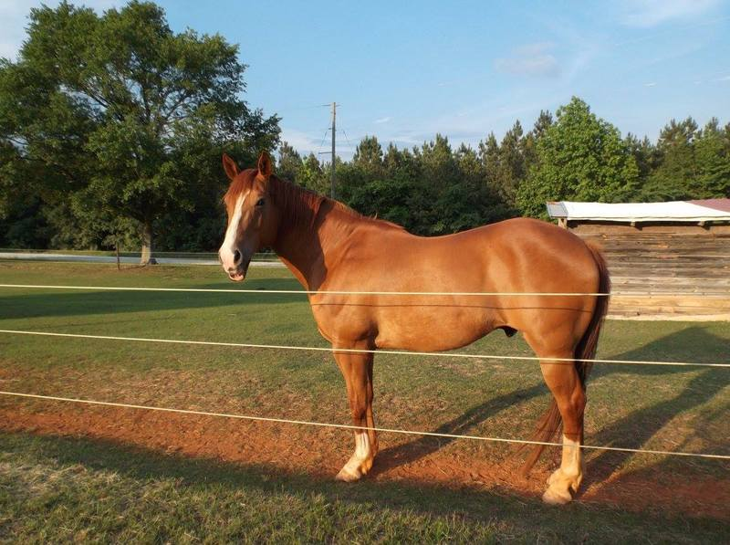 Gelded 12 year old quarter horse paint