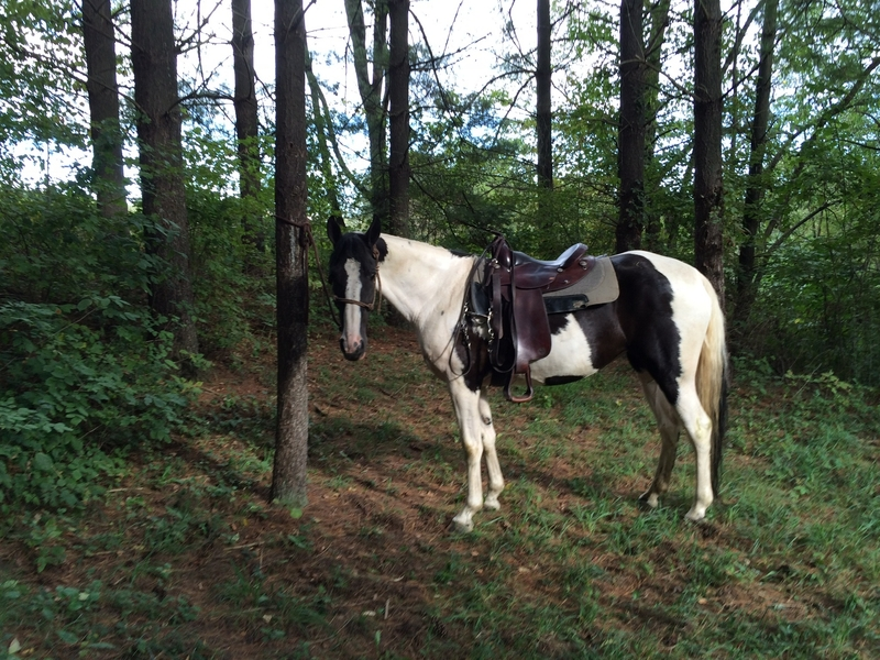 Registered spotted saddle horse Gaited Mare