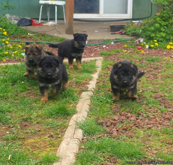 Beautiful AKC registered german shepard puppies