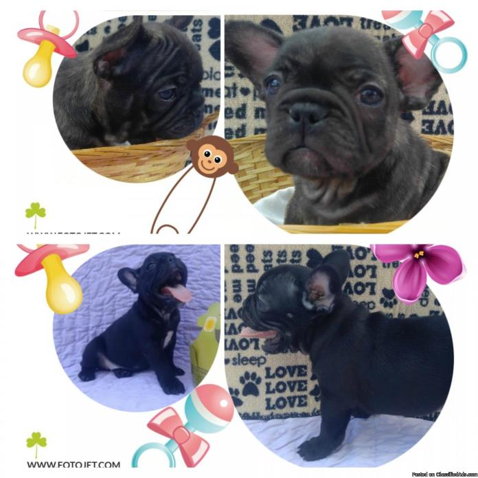 2 Beautiful Female French Bulldogs