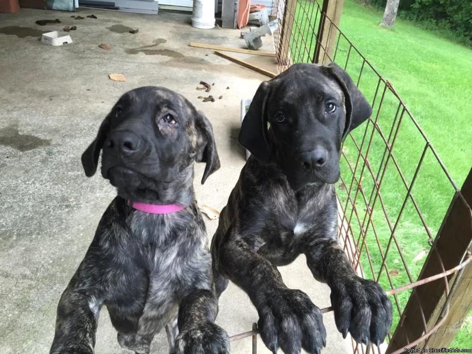 Female great dane