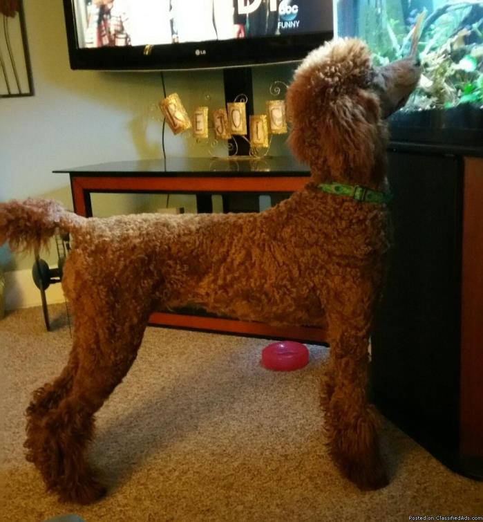 Beautiful Standard Poodle