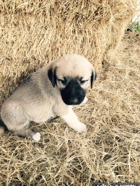 castlerocks anatolian shepherd puppies