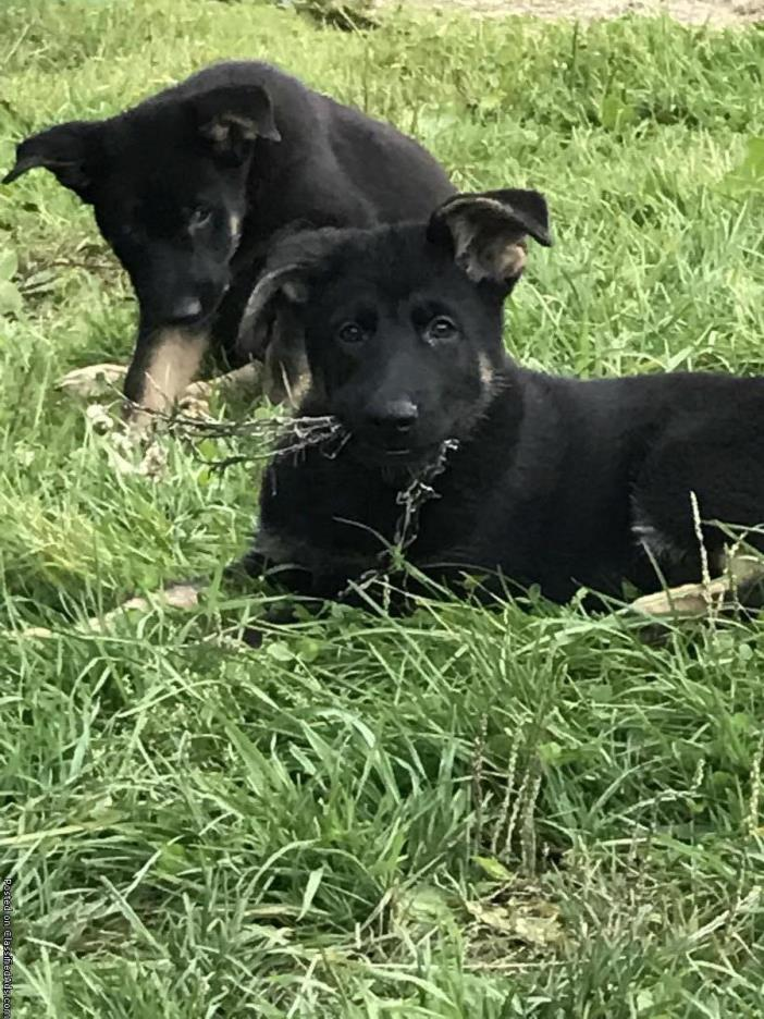 East German shepherds 2 bi color available