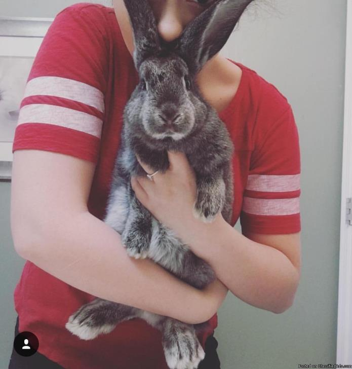 Baby Flemish giant rabbit for sale